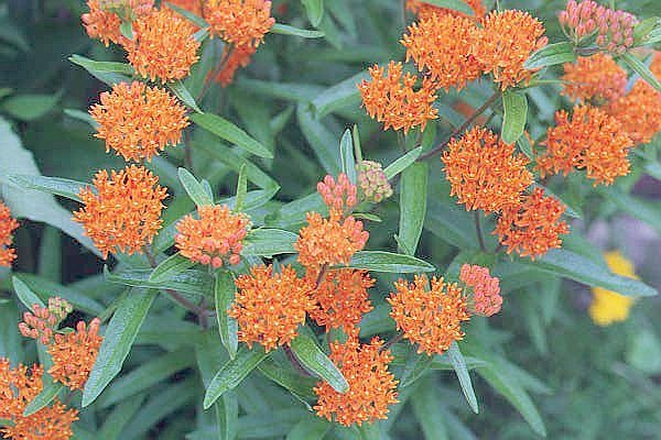 how to grow butterflyweed, Natural flower