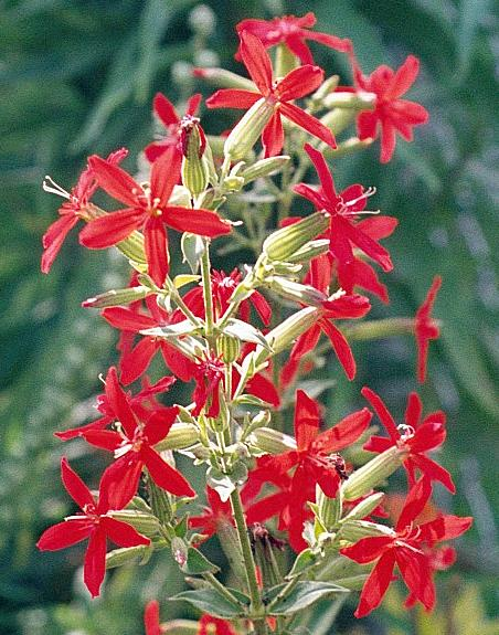 How To Grow Royal Catchfly